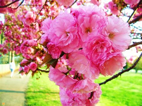 i cherry tree let s talk blooming trees the planting tree