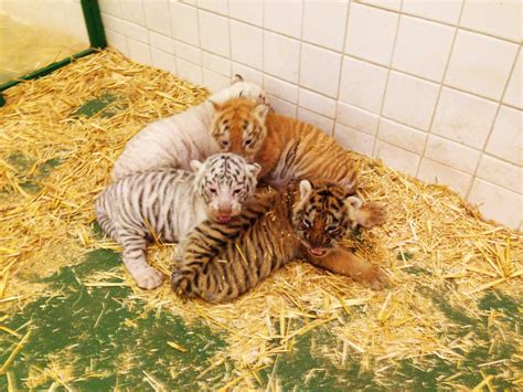 siegfried roy welcome four tiger cubs to their home at