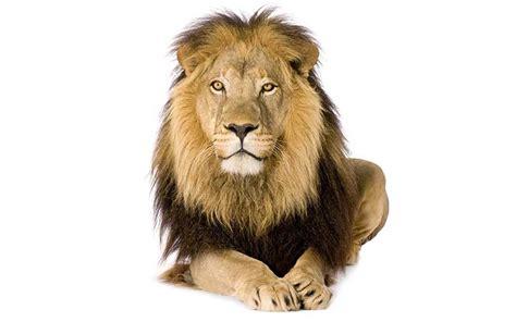 imagenes de animales leon le 243 n informaci 243 n y caracter 237 sticas