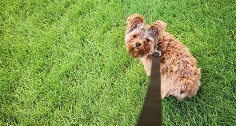yorkie separation anxiety terrier separation anxiety breeds picture