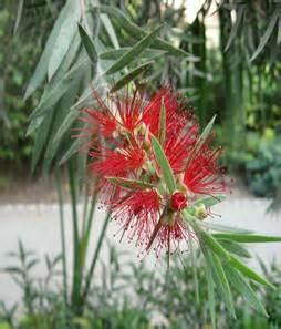 Callistemon Variegata horticulture landscaping types of garden