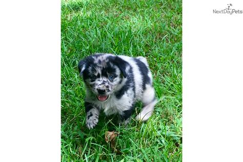 aussiedor puppies for sale sally mixed other puppy for sale near huntsville decatur alabama 36fa4245 fb71