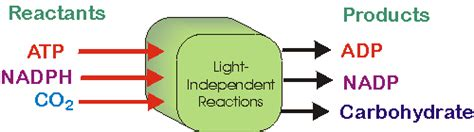 Products Of Light Reactions by What Do The Terms Reactant And Product