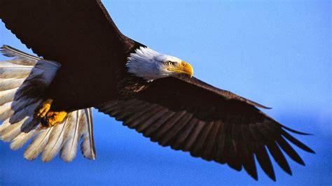 imagenes de agilas blancas pics for gt aguila real volando