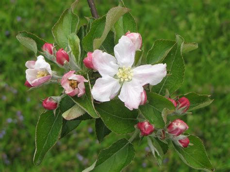 apple blossom apple blossoms new england apples