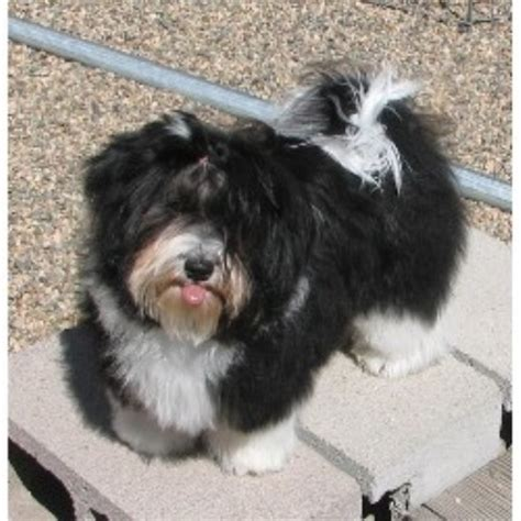 havanese rescue wisconsin janizona havanese breeder in dolores colorado