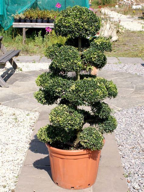 japanese topiary trees cloud tree ilex crenata kinme japanese top