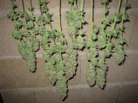 Canapé Sur Pied tutos r 233 colte et s 233 chage du cannabis