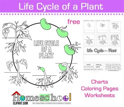 seed to plant coloring amp worksheet