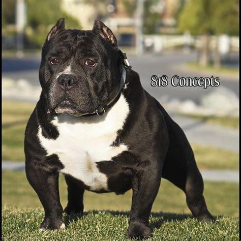 gotti pitbull puppies 1000 images about pitbulls on puppys pit bull and i a