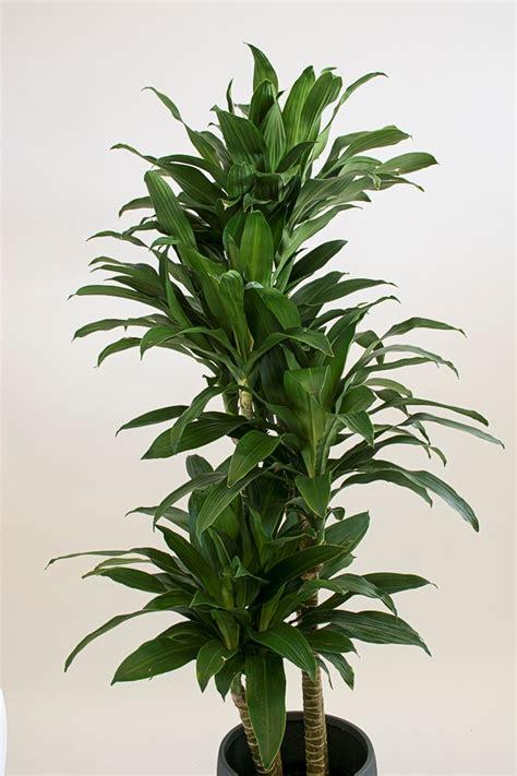 dracaena fragrans hawaiian grown products photo gallery hawaii export