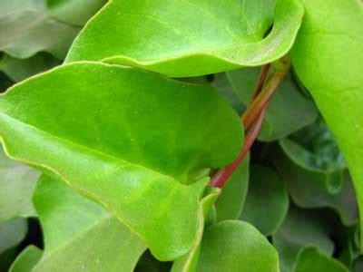 khasiat daun ajaib binahong herbal alami thibbun nabawi