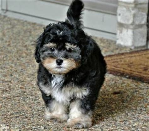 how much is a teacup shih tzu 25 best ideas about shorkie tzu on pics of puppys picture of puppies and