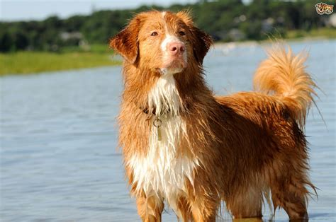 golden retriever types of dogs different types of retrievers pets4homes