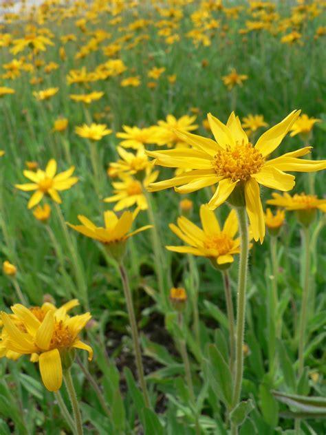 fiori di arnica arnica il fiore benessere salutegrazie