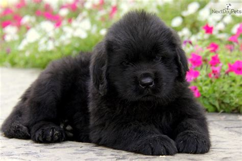 newfoundland puppies for sale near me newfoundland puppy for sale near lancaster pennsylvania b6295034 de91