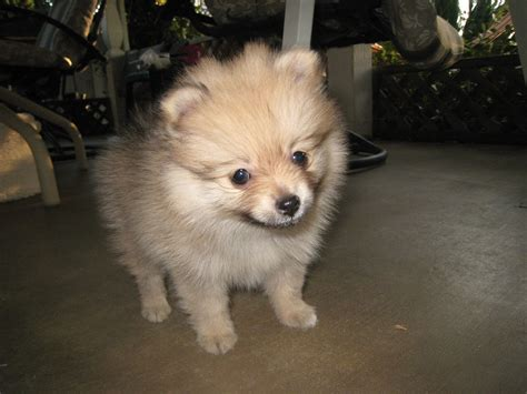 how is a pomeranian 12 minutes 60 baby pomeranians for every minute of your lunch sweet pomeranian