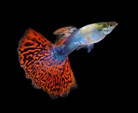 Ikan Discus White Uk 2 the best fish that eats algae in fish tank guppy fish