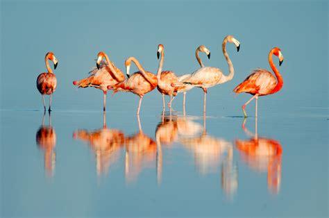 wallpaper flamingo hd flamingo hd widescreen wallpapers backgrounds