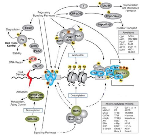 protein n terminal acetylation histone acetylation mechanism weblogs21 education one