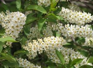 Flowering Shrubs Canada - canada red chokecherry prunus virginiana prescott valley nursery