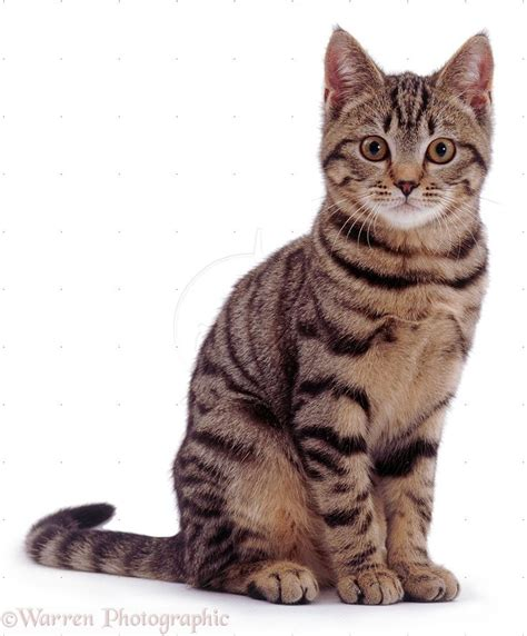 7 best images about cats on tabby cats cats