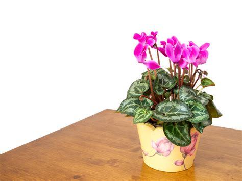 ciclamino coltivazione in vaso ciclamino come coltivarlo in vaso pollicegreen