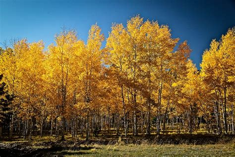 Gardenias by Quaking Aspen For Sale Online The Tree Center