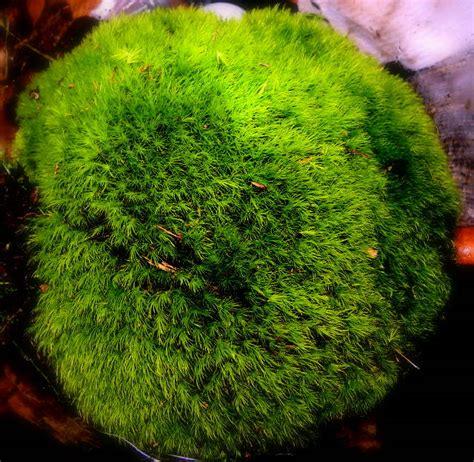 mood moss gallon bag aka frog moss broom moss