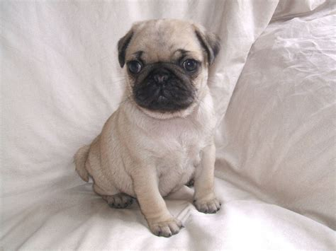 baby pug pictures newborn pugs www imgkid the image kid has it