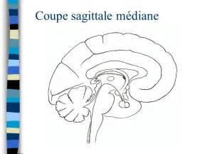 neuro anatomie principes de base ppt t 233 l 233 charger