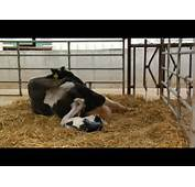 Raped Cow Gives Birth To A Human Being  YouTube