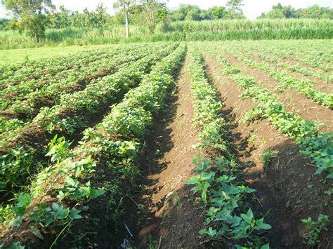 Bibit Ubi Jalar cara menanam budidaya ubi jalar pertanian