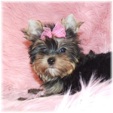 teacup yorkie for adoption in ohio and lovely teacup yorkie puppy for free home adoption northeast ohio