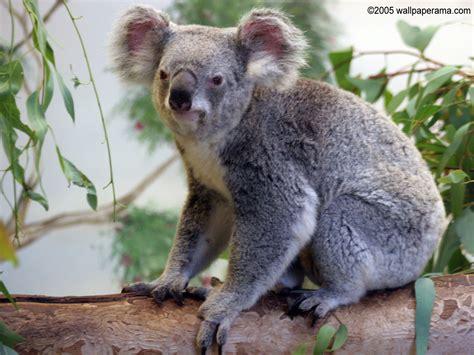 green koala wallpaper koala bear wallpaper free hd backgrounds images pictures