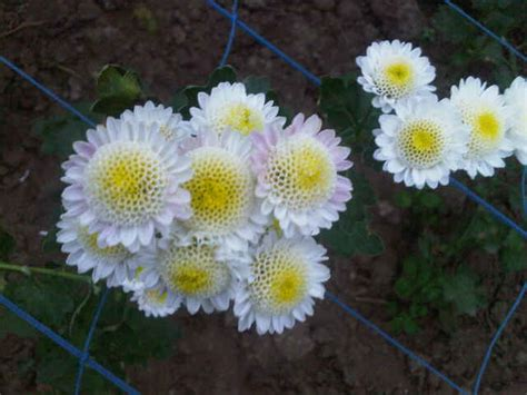 Tanaman Krisan Putih tanaman krisan putih bibitbunga