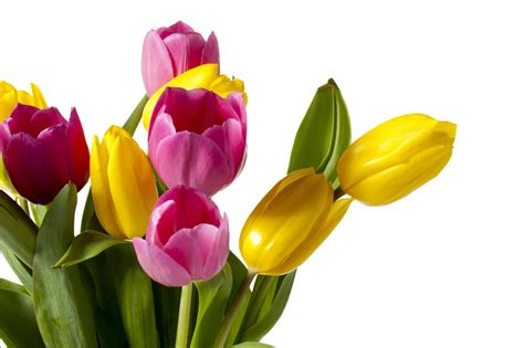 imagenes para fondo de pantalla de tulipanes banco de im 193 genes 22 fotograf 237 as de tulipanes de colores