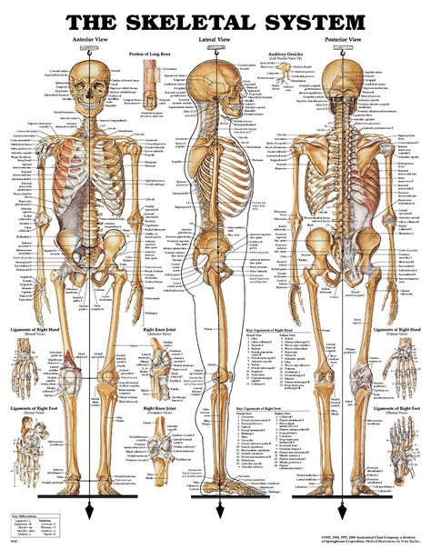 sections of the body anatomy human body bone parts name human body bones name anatomy