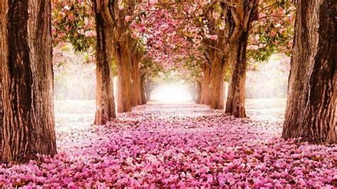 wallpaper daun musim semi gambar bunga sakura rontok di akhir musim semi projects