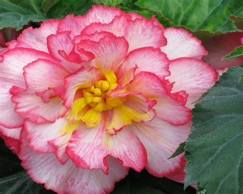 begonia color wallpapers begonia pink color flowers 54374 wallpapers13