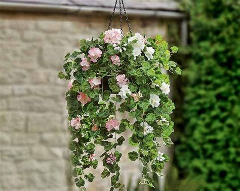 tanaman hias gantung berbunga pelargoniums kebunku