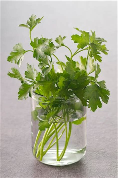 Do Cilantro Metal Detoxs Work by Cilantro Shown To Help Remove Mercury And Heavy Metals