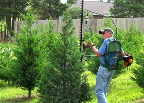 christmas tree farm for sale buy trees early to get best options mississippi state extension service
