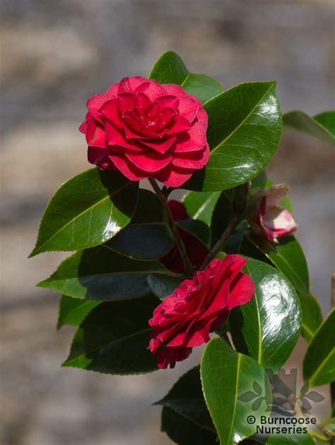 Black Camellia camellia black lace from burncoose nurseries
