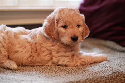 goldendoodle puppy ny river valley goldendoodle puppy ny maybe someday