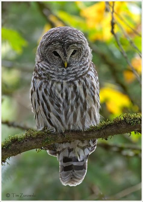 barred owl owls and more pinterest
