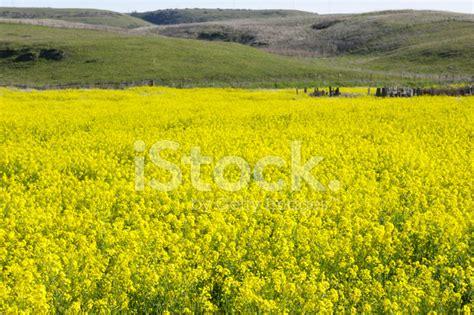 fiori di senape co dei fiori di senape selvatiche fotografie stock