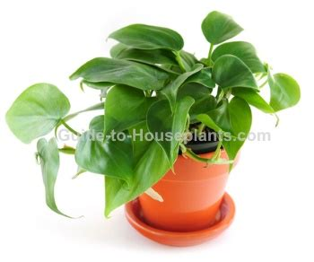 common house plants with shaped leaves heartleaf philodendron care philodendron scandens