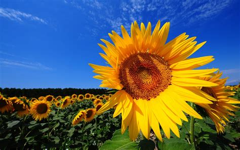 sunflower fields magnificent sunflower fields and interesting facts about