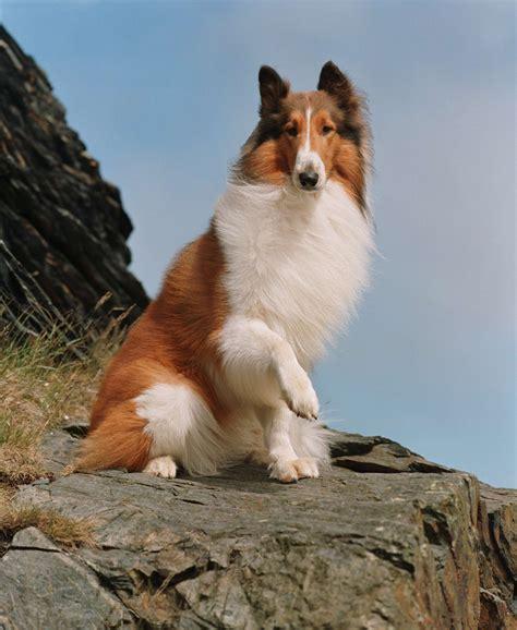 what breed of is lassie pets lassie